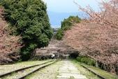 20120406 重返京都:003. 花苞還是很多很多~但~已有些淡淡的味道.JPG