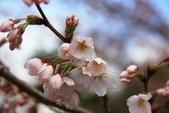 20120406 重返京都:005. 微開的櫻花~.JPG