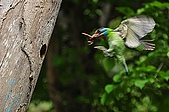 五色鳥(台灣擬啄木)練拍(二):DSC_0267.jpg