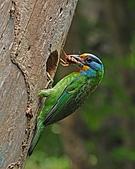 五色鳥(台灣擬啄木)練拍(二):DSC_0270.jpg