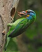 五色鳥(台灣擬啄木)練拍(二):DSC_0278.jpg