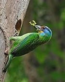 五色鳥(台灣擬啄木)練拍(二):DSC_0283.jpg