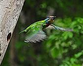 五色鳥(台灣擬啄木)練拍(二):DSC_0307.jpg