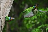 五色鳥(台灣擬啄木)練拍(二):DSC_0308.jpg