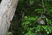 五色鳥(台灣擬啄木)練拍(二):DSC_0313.jpg