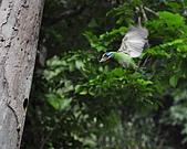 五色鳥(台灣擬啄木)練拍(二):DSC_0406.jpg