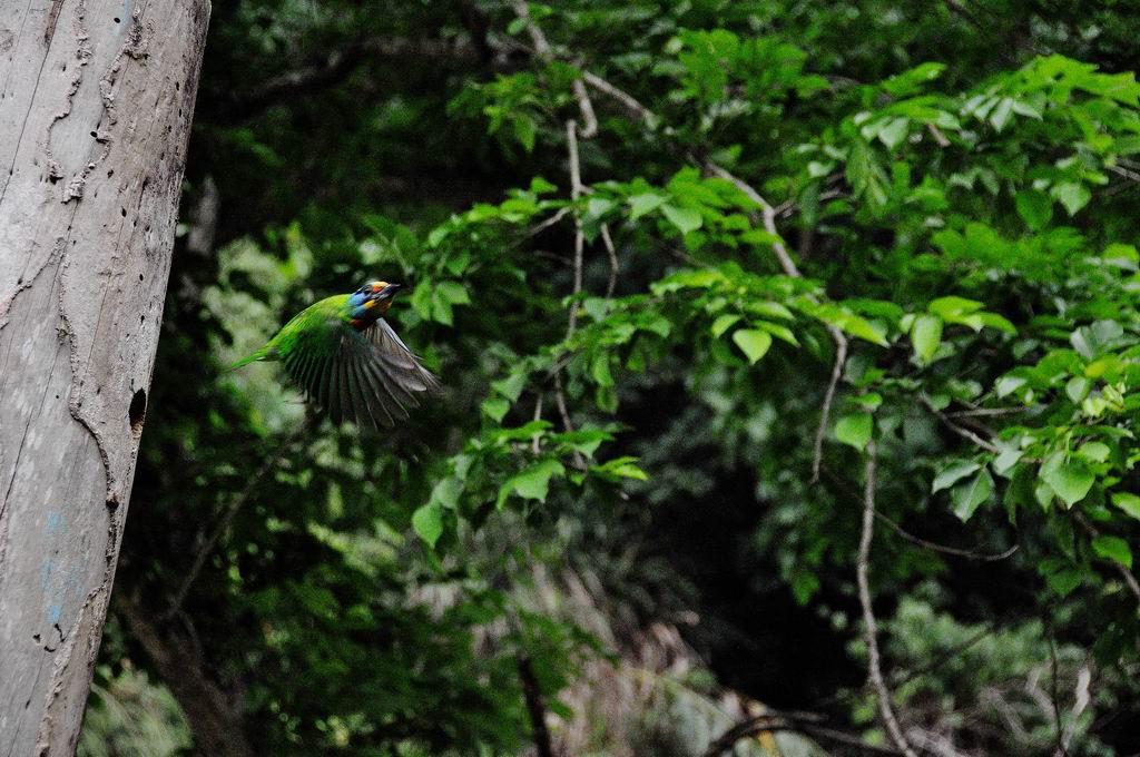 五色鳥(台灣擬啄木)練拍(二):DSC_0412.jpg