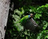 五色鳥(台灣擬啄木)練拍(二):DSC_0413.jpg