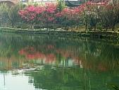 三芝櫻花2009:DSC09989.JPG