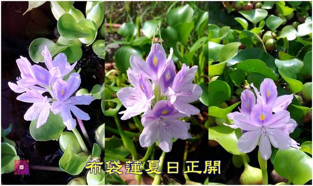 布袋蓮1.jpg - 自然生態花草奇妙集
