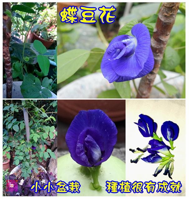 蝶豆花1 (5-2) (2).jpg - 自然生態花草奇妙集