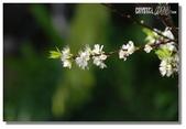 華陶窯的自在之美:春櫻