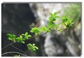 早安!花蓮~遊山:白楊步道盡頭瀑布旁的綠葉