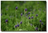 紫色午後:小紫球花