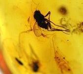 艾文拍的美美水晶:這顆蟲珀透度很好,可以清楚看見保存的是大小共六隻不知多少年前類似小飛蚊的小生物,薄薄的翅膀與觸鬚仍然十分完