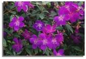 紫色午後:嬌艷紫花