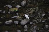 秋遊後慈湖:野溪橋下巧遇白鷺鷥