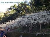 15-01-14新社賞梅:梅花森林