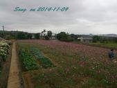 14-11-09&13銅鑼賞杭菊:DSC_3783.jpg