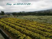 14-11-09&13銅鑼賞杭菊:DSC_3734.jpg