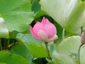 12-06-11 大甲賞蓮part2、向日葵小花田、建興海邊:大甲苗圃