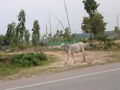 2011.04.04 柬埔寨-西哈努克:03-004-西哈努克隨拍-很瘦的牛.JPG
