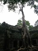 2011.04.09 in柬埔寨-吳哥窟:01-013-吳哥窟-塔普倫寺-像被蛇纏繞的榕樹.JPG