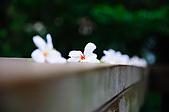090419 三義油桐花在哪裡?:008.jpg