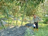 蔬菜-麻竹筍:DSCF0150.JPG