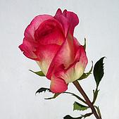 厄瓜多玫瑰篇:亞馬遜皇后