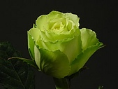 厄瓜多玫瑰篇:凌波綠