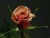 厄瓜多玫瑰篇:卡拉梅拉