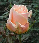 厄瓜多玫瑰篇:卡蘭巴