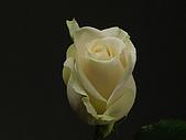 厄瓜多玫瑰篇:曼得拉(牛奶妹)