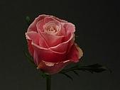 厄瓜多玫瑰篇:最迷人