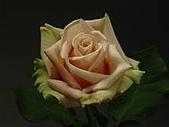 厄瓜多玫瑰篇:梅蘭妮