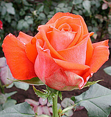 厄瓜多玫瑰篇:維蘭諾
