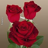 厄瓜多玫瑰篇:自由紅