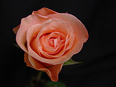 厄瓜多玫瑰篇:貝加伯