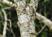 自然界的偽裝技巧-你看到它們了嗎?:11-這種行為的變得有點木:此苔葉尾壁虎是一種變相的蒙塔涅dAmbre,馬達加斯加國家公園的主.jpg