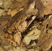"""自然界的偽裝技巧-你看到它們了嗎?:13-堅持下去:""""有一個葉青蛙的地方.jpg"""