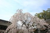 日本關西賞櫻深度之旅-平野神社- 42-22:A81Q2101.JPG