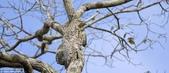 自然界的偽裝技巧-你看到它們了嗎?:15-他去哪兒了?大Potoo隱藏在樹在巴西尋找食物.jpg