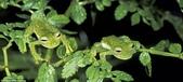 自然界的偽裝技巧-你看到它們了嗎?:16-雙法:在秘魯的馬努國家公園,在枝葉遮擋一雙玻璃蛙.jpg