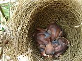 白頭翁小鳥生長過程-我家花園:20080426DSC08475孵出約四天.JPG