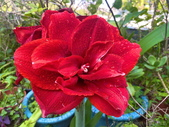我家花園的花卉:20200309_085434-uid-5705EDA1-5292-4E76-8932-349C9902E6F4.jpeg