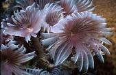 全球十大最美的珊瑚:8-1.雞毛撢子蠕蟲-管居蠕蟲(學名:Sabellestarte cf. sanctijosephi).jpg