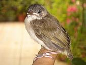 白頭翁小鳥生長過程-我家花園:20080503DSC08728小鳥離巢試飛日第十一天飛進佛堂跳上我的手