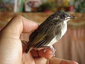 白頭翁小鳥生長過程-我家花園:20080503DSC08718小鳥離巢試飛日第十一天飛進佛堂跳上我的手