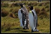 南極31天行紀實旅照先挑選供欣賞相簿:福克蘭島自願角的國王企鵝